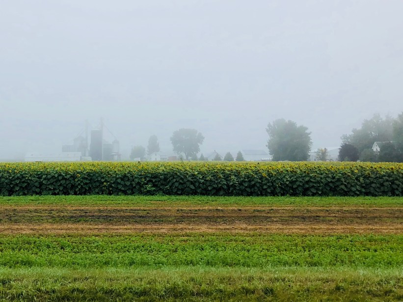 Sunflower Crops in the early morning fog.