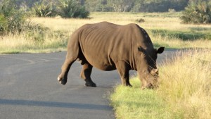 Intercultural Exchange with Big 5 flavour, the rhino