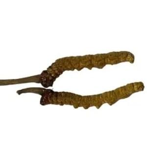 Cordyceps Sinensis Grade B