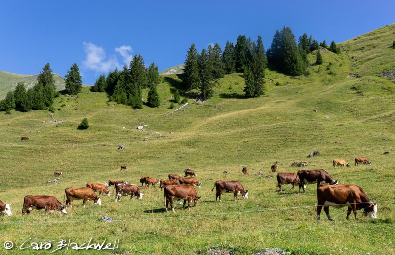 The cows and their bells! Hiking from Lac Mines d'Or, Morzine