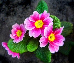Primrose - Edible Flowers