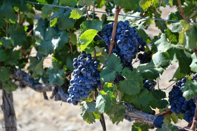 Grapes in Horse Heaven Hills
