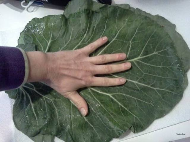Huge Oregon collard green with hand for scale
