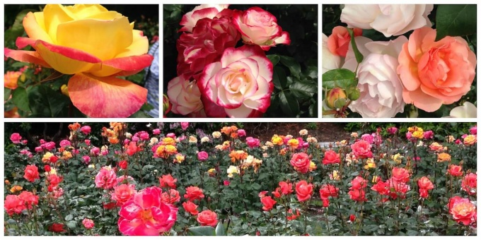 International Rose Garden Collage