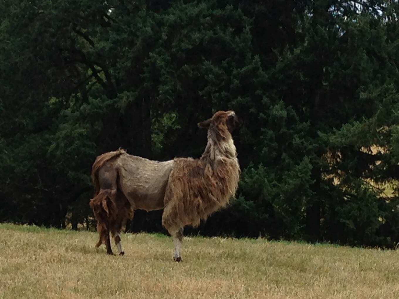 The Austins offer a glass of their wine to one of the many llamas on their property. Photo by Andrea Johnson