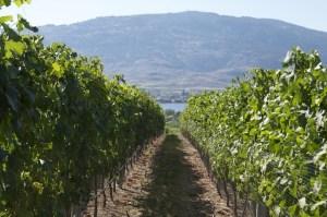 osoyoos vineyard, tastingroomconfidential.com