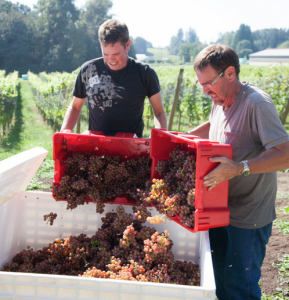 Singletree winery harvest