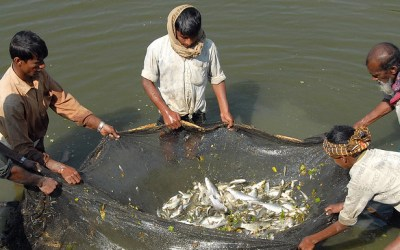 Sustainable Aquaculture and Food Security: Herbivorous Fish and Algal Feeds