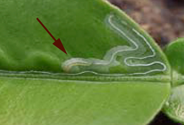 Citrus Leafminer Diagnosis And Treatment