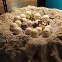 Dinosaur eggs @ Natural History Museum