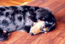 Sleepy Dog in Dog Salon African Safari Beppu