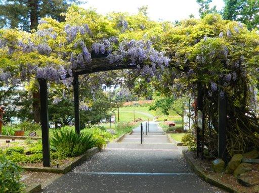 Wisteria Arch, Hobart Botanical Gardens