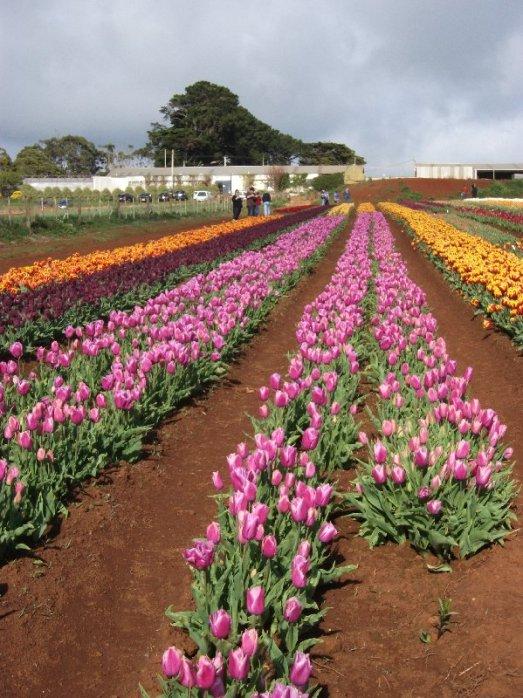 Tulip Farm at Table Cape near Wynyard on the northwest coast.