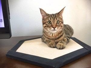 【猫専用置き畳コット】お客様の声が届きました!【ネコ畳】