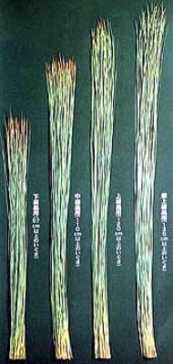 イ草の長さ