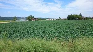 肴豆大豆栽培風景