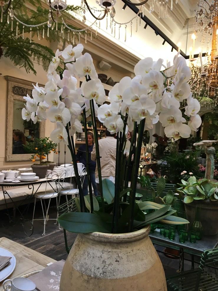 Beautiful phalaenopsis orchid in full bloom