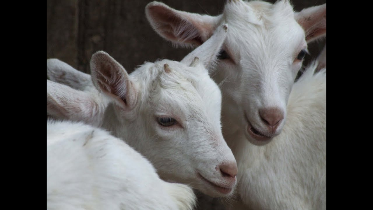 Breeding Cash With Dairy Goats Youtube Ideas And Designs