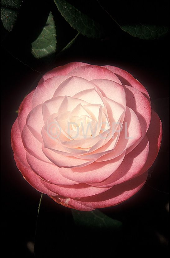 1000 Images About Camellia Tattoo On Pinterest Ideas And Designs
