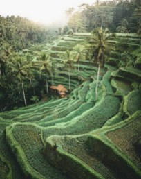Tegalalang Rice Terrace, Ubud Bali Indonesia - Agriculture, Arecales, Botanical garden, Field, Landscape, Outdoor structure, Palm tree, Plantation, Terrace, Vegetation