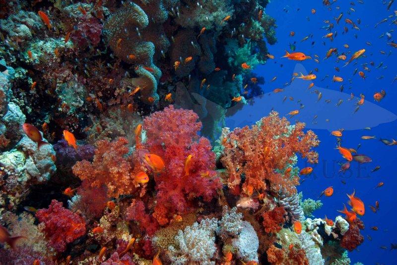 Riff Zabargad Island Tauchsafari Ägypten