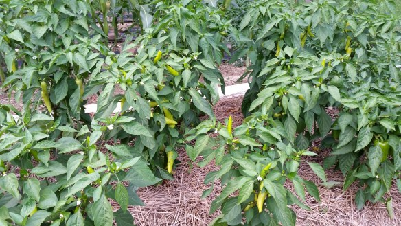 peppers in garden