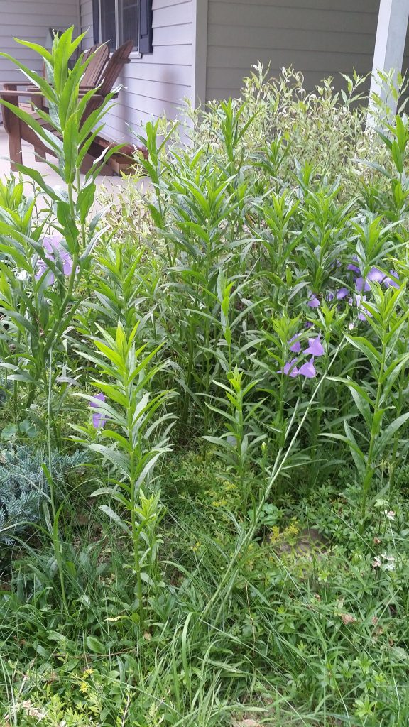 new obedient plant