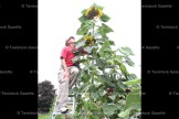 Garry Jenkins uses a step ladder to try and reach the top of the sunflowers in his garden.