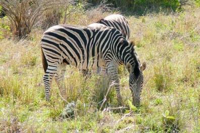 Zèbre du Serengeti - Tanzanie