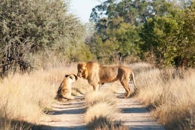 Lions en période d'accouplement