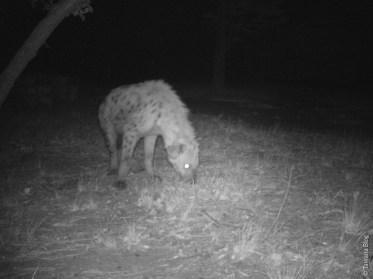 La hyène est un animal nocturne.
