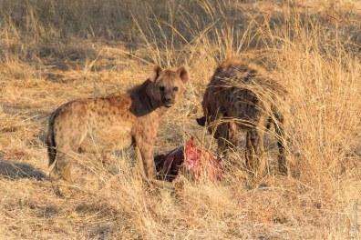La hyène est aussi un redoutable prédateur.
