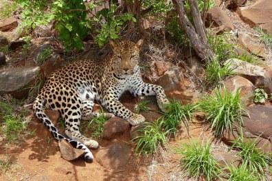 Le léopard a des tâches plus prononcées et une morphologie plus massive.