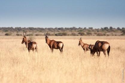 Désert du Kalahari (Botswana)