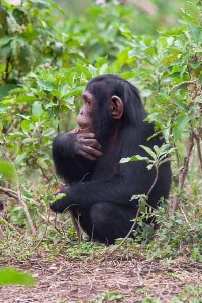 Ngamba Island Sanctuary, Ouganda