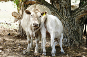 Big-calf