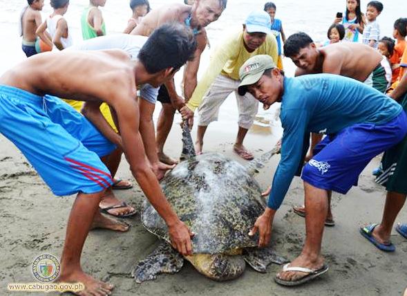 ENDANGERED SPECIE. Nagtitinnulongan dagiti lumugar ti Barangay Namruangan, Cabugao, Ilocos Sur (ngato) a binagkat ti sea green turtle a nadaklisanda idi Agosto 24, 2016 sada met laeng imbulos tapno agsubli iti kabaybayan. Karaman ti sea green turtle kadagiti umad-adun nga endangered species ditoy pagilian a kasapulan ti pannakasaluad tapno saanda a maungaw. (Retrato, pammadayaw ti LGU Cabugao.)