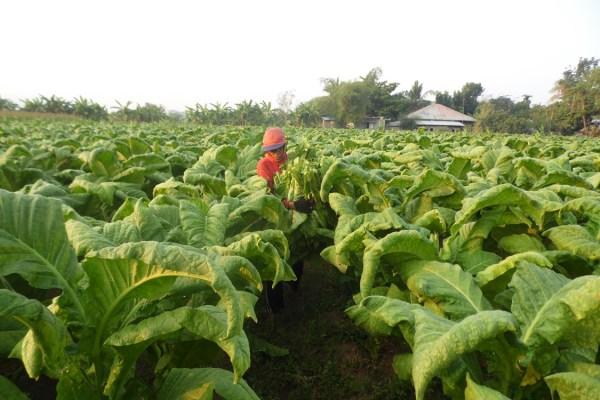 Tobacco farmer (photo by Eden A. Alviar)