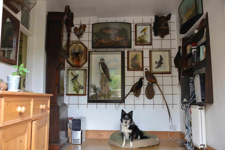 Bird Taxidermy Wall Display  UK Bird Taxididermist