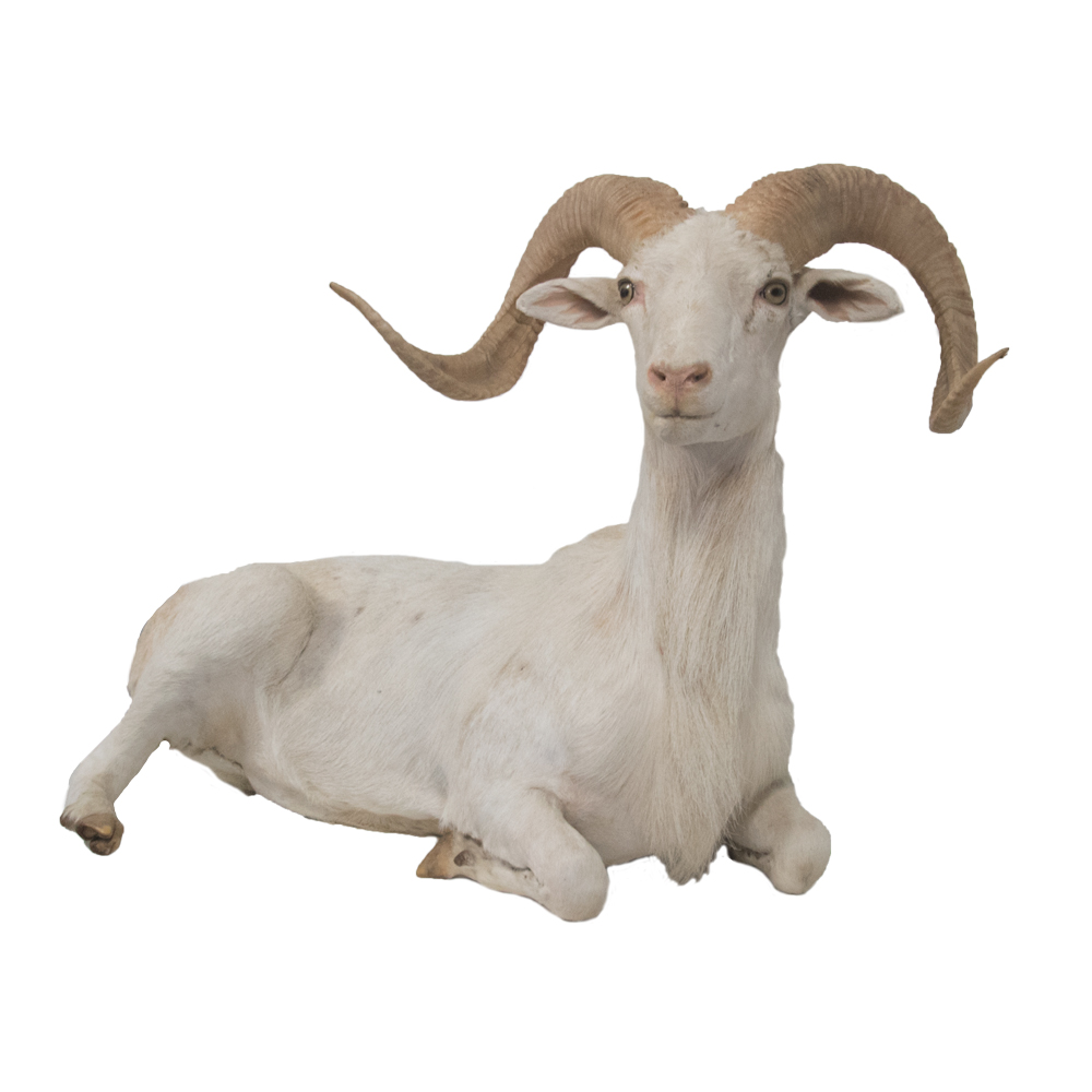 Dall SheepWhite Dall Sheep  Taxidermy Mounts for Sale