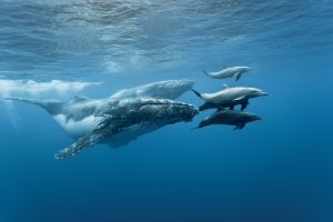 Photo, http://scienceburger.com/dolphins-ride-whales-on-hawaiian-coast