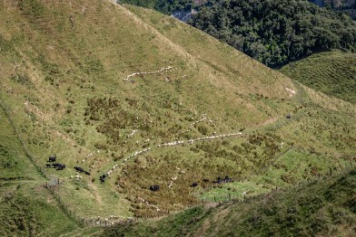 Sheep mustering in New Zealand
