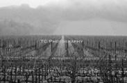 BW Endless Vineyard | Taylor Cannon Photography