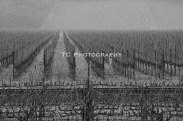 BW Endless Vineyard 2 | Taylor Cannon Photography