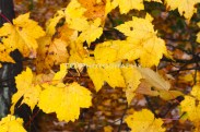 Yellow Fall Leaves | Taylor Cannon Photography