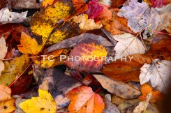 Red Fall Leaves | Taylor Cannon Photography