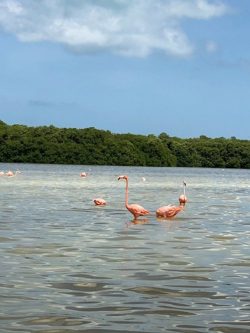 Flamingos dance in the water in Mexico
