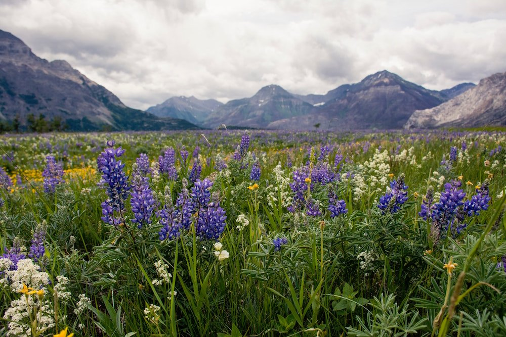 Wildflowers bloom in the fields of Waterton Lakes National Park in front of towering mountains