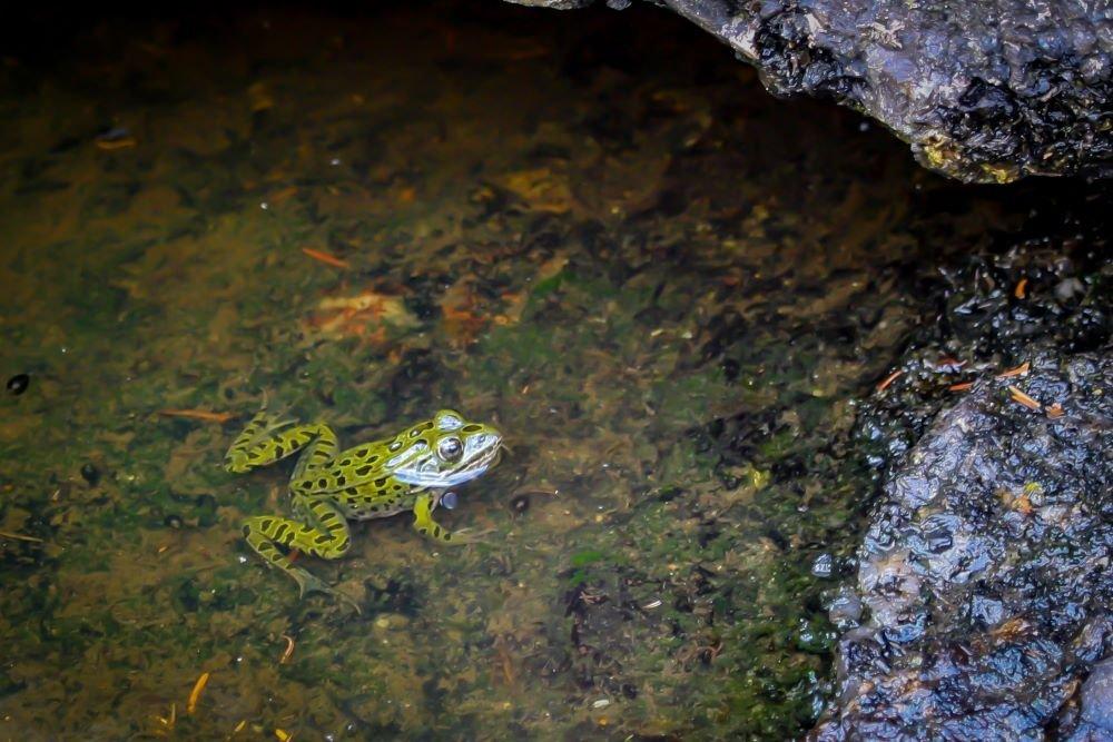 A frog sits in the water at Tulabi Falls, Manitoba Canada
