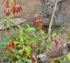 Cinnamon Bush